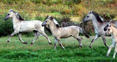 The Sorraia is a rare breed of horse indigenous to the portion of the Iberian peninsula known today as Portugal. The Sorraia is known for its primitive features, including a convex profile and dun coloring with primitive markings. Concerning its origins, a theory has been advanced by some authors that the Sorraia is a descendant of primitive horses belonging to the naturally occurring wild fauna of Southern Iberia.