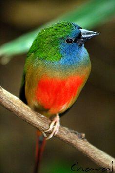 Prachtig vogeltje http://www.naturescanner.nl/zuid-amerika/brazilie/activiteiten/vogels-in-brazilie/124