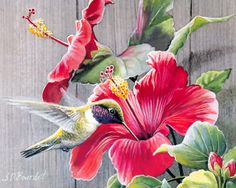 S.D. Bourdet, artist ~ hummingbird ~ hibiscus