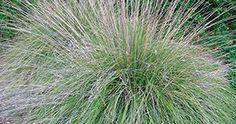 deergrass - California native plant; makes a low informal screen ...