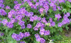 Viele Storchschnabel-Arten sind für den Garten unverzichtbar. Besonders beliebt ist der Pracht-Storchschnabel (Geranium x magnificum, siehe Foto). Er zählt zu den großblumigsten, blütenreichsten Vertretern und ist vielseitig verwendbar. In halbschattigen Lagen unter Gehölzen kommen seine blauvioletten Blüten ebenso gut zur Geltung wie im Staudenbeet. Ein Wermutstropfen ist die recht kurze Blütezeit von Mai bis Juni, dafür entschädigt aber die attraktive, rötliche Herbstfärbung.