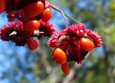 heart's-a-bustin fruit Euonymus with seeds