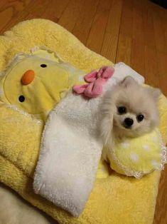 Pomeranian puppy dog is ready to go nite-nite