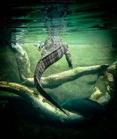 Alligator Crocodile Power Animal Symbol Of Primal Energies Survival Les Reptiles, Reptiles And Amphibians, Mammals, Beautiful Creatures, Animals Beautiful, Cute Animals, Power Animal, Wild Creatures, Mundo Animal