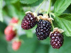 Blackberrybush_f_improf_400x300