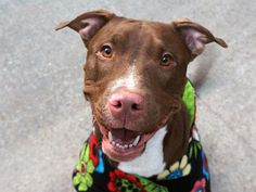 "SILK - A1100690 - - Manhattan  TO BE DESTROYED 01/09/17 **ON PUBLIC LIST** A volunteer writes: Silk is affectionate to the extreme. As we walked, she would whimper and jump up to be petted. It was quirky, yet endearing. Once I started petting her she would sit right down. She begged for constant petting during the whole walk. She's most definitely a ""people-dog!"" Another volunteer writes: Silk is just as exquisite as her name suggests, a supermodel with a"