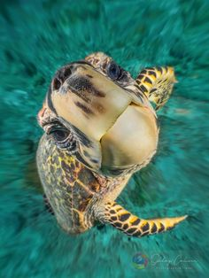 Your big tortoise is a source of pleasure to you. You bought the turtle so you can have more fun with family members and friends. Baby Sea Turtles, Cute Turtles, Turtle Baby, Beautiful Creatures, Animals Beautiful, Sea Turtle Pictures, Animals And Pets, Cute Animals, Fauna Marina