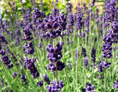 Lavendel - pflanzen, schneiden, pflegen, vermehren, überwintern