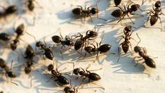 Ameisen bekämpfen: Wenn die Nützlinge zur Last werden