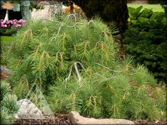 Pinus strobus 'Stony Brook' is a great mounding, sprawling conifer.
