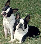 Boston Terrier: Training Tips For Boston Terrier Dog Breeds