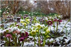 To my eye, hellebores look stalwart and brave when each flower is wearing a pristine white cap of snow.
