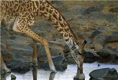 Masai Giraffe in the Dry Season, Masai Mara National Reserve, Kenya, 2008 Yva Momatiuk and John Eastcott