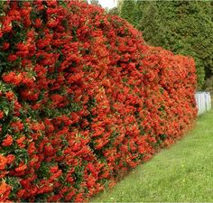Pyracantha is a genus of thorny evergreen large shrubs in the family Rosaceae, with common names firethorn or pyracantha.