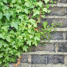 Growing Ivy | ThriftyFun