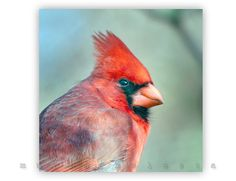 Wall Art, Bird Artwork, Photography, Cardinal, Bird Photography, Red, 12x12, Murray Bolesta