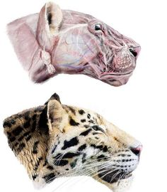 The extinct Longdan tiger (Panthera zdanskyi) was a jaguar-sized tiger that lived in what is now northwestern China more than 2 million years ago. Shown here, an artist's reconstruction of the tiger. Credit: Velizar Simeonovski et al, PLoS ONE