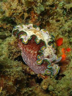 Glosodoris sp. nudibranch