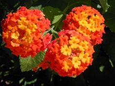 Texas Lantana - Really cool flowers.  Draught resistant.