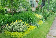 ellow flowers of variegated loosestrife (Lysimachia punctata 'Alexander') and Sedum 'Acre' flow in to the three pretty clematis vines around our Circle Lawn, and then yellow foxgloves in the Shade Path garden.