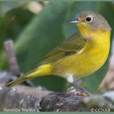 Nashville Warbler | Nashville Warbler pictures | Warblers of North ...