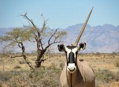 Road trip en Namibie, entre animaux sauvages et désert du Namib Goats, Giraffe, Road Trip, Animals, Namib Desert, Wild Animals, Felt Giraffe, Animales, Animaux