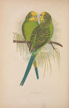 Antique Botanical Prints, Rare Antique Prints from Panteek Antique Illustration, Illustration Art, Illustrations, Australian Birds, Parrot Bird, Budgies, Cockatiel, Vintage Birds, Pictures To Paint