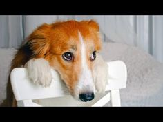 YOU'LL LAUGH HARD at this Ultimate FUNNY and CUTE GUILTY DOGS… #funnypetvideos #funnyanimals