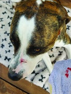 Always clean your dogs wounds to prevent the rare chances of tetanus. Never let him near metal outdoors. Bed Sores, Dog Life, Best Dogs, Boston Terrier, Your Dog, Dog Things, Canning, Pets, Woody