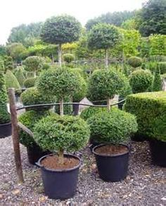 Topiaries specialty plants on pinterest living privacy for Ligustrum pompon