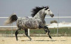 Se cheval a une belle robe gris pommelé!!