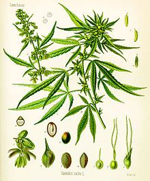 Cannabis as illustrated in Köhler's book of medicinal plants from 1897 - Lord Grey's brother Hal is using it against his asthmatic attacks