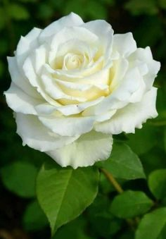 Beautiful Rose Flowers, Pretty Roses, Exotic Flowers, Amazing Flowers, Beautiful Gardens, White Flowers, Beautiful Flowers, Rosa Rose, Flower Wallpaper