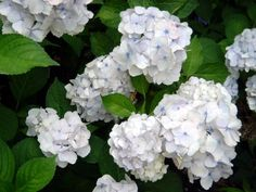 Information on growing and caring for hydrangeas.
