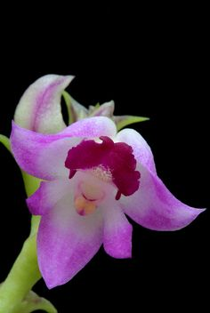 Polystachya rhodochila - Flickr - Photo Sharing!