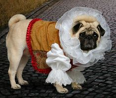 Shakespug - my never ending love of dressed up pugs continues...