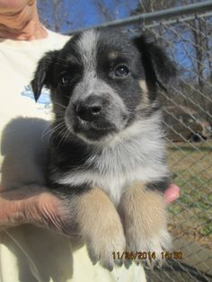 Dog ready for adoption: Manchester Terrier / Australian Cattle Dog/Blue Heeler / Mixed named Sasha in Rutherfordton, NC