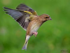 breeds of finches - Google Search