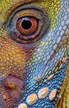 photo, reptile, lizard, eye // A Boyd's rainforest dragon (Hypsilurus boydii) Beautiful Creatures, Animals Beautiful, Cute Animals, Patterns In Nature, Textures Patterns, Animals Tattoo, Regard Animal, Art Grunge, Photo Animaliere