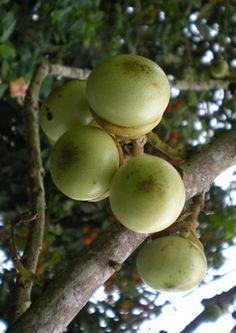 Engkala is an indigenous fruit of Sarawak, Malaysia