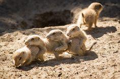 Präriehunde in Aktion - in der Sonne machen Gruppenaktivitäten besonders Spaß