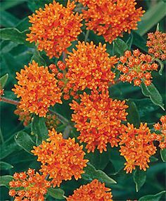 Butterfly Weed #flowers, from Lawn Connections.