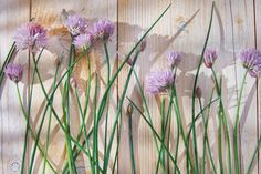 DOWNLOAD :: https://jquery-css.de/article-itmid-1008060249i.html ... Chives in bloom ...  blossom, botanical, bunch, chives, cuisine, fresh, gardening, green, herb, ingredient, leaves, natural, onion, organic, purple, raw, spice, tasty, vitamin  ... Templates, Textures, Stock Photography, Creative Design, Infographics, Vectors, Print, Webdesign, Web Elements, Graphics, Wordpress Themes, eCommerce ... DOWNLOAD :: https://jquery-css.de/article-itmid-1008060249i.html
