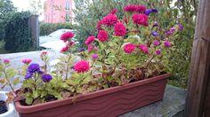 Pflanze Nummer drei hat sich in den letzten Wochen super entwickelt. Ich bin mir ziemlich sicher das es sich um Astern handelt. Plants, Flowers, Plant, Planets