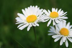 Daisy. My most favorite