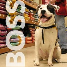 Boss is a 1yr old male pit bull/terrier who actually SMILES! Meet Jim at 184 Verona St.