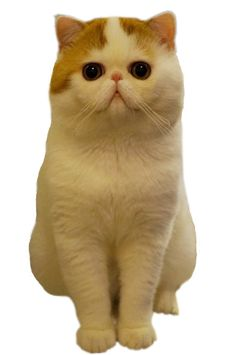 becoming obsessed with Snoopy the Exotic Shorthair