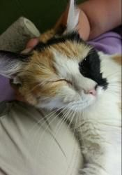 Naomi 18485 is an adopted Calico Cat in Prattville, AL. � Naomi is a 1-year old, medium-haired, calico cat. Naomi is definitely a lap-cat and will follow you wherever you go. Because of her longer c...
