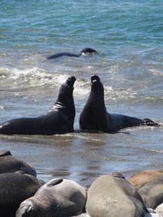 Elephant seals at San Simeon beach, PCH California ✔️ San Simeon California, California Dreamin', Cambria California, Pacific Coast Highway, Highway 1, Vacation Spots, Vacation Deals, Elephant Seal, San Luis Obispo County