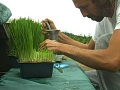 Organic Facts Food of the Week: Wheatgrass - How to make wheatgrass juice? A short video by Dan McDonald, the raw food specialist. Diet Plans To Lose Weight, How To Lose Weight Fast, Losing Weight, Detox Recipes, Raw Food Recipes, Healthy Drinks, Get Healthy, Growing Wheat Grass, Fast Easy Meals